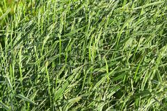 Gras als achtergrond Royalty-vrije Stock Afbeeldingen