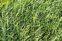 Gras als Hintergrund Lizenzfreie Stockbilder