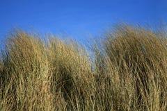 Gras auf Düne Stockfotografie