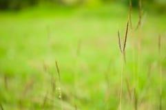 Gras auf dem Gebiet auf grünem Hintergrund Lizenzfreies Stockfoto