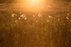 Gras auf dem Gebiet im Sonnenlicht bei Sonnenuntergang Stockfoto