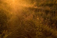 Gras auf dem Gebiet im Sonnenlicht bei Sonnenuntergang Lizenzfreie Stockbilder