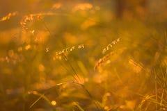 Gras auf dem Gebiet am orange Licht des Sonnenuntergangs Lizenzfreie Stockfotos