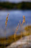 Gras auf dem Wind Stockfotografie