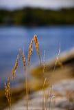 Gras auf dem Wind Lizenzfreie Stockbilder