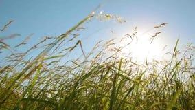 Gras auf dem Wind bei Sonnenuntergang stock video footage