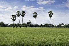 Gras auf den Reisgebieten Stockfotos