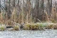 Gras auf der Flussbank im Winter stockfoto