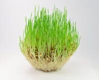 Gras auf einem grauen Hintergrund Lizenzfreie Stockfotografie