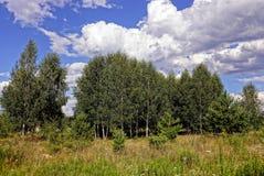 Gras auf einer Wiese vor einer Birkenwaldung gegen den Himmel und die Wolken Lizenzfreies Stockfoto