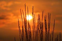 Gras auf susnet Hintergrund Stockfotografie