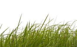 Gras auf weißem Hintergrund. Lizenzfreie Stockfotografie