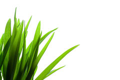 Gras auf weißem Hintergrund Stockfotos