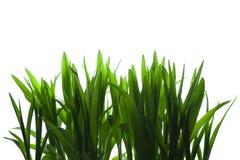 Gras auf weißem Hintergrund Stockbilder