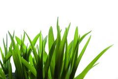 Gras auf weißem Hintergrund Lizenzfreie Stockbilder