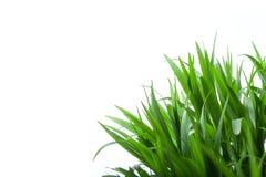 Gras auf weißem Hintergrund Stockfotografie