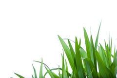 Gras auf weißem Hintergrund Stockfoto