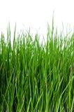 Gras auf weißer Hintergrundvertikale Stockfotos