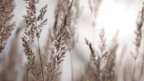Gras beeinflußt in einen Feldatem des Winds während des Sonnenuntergangs stock footage