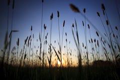 Gras bei Sonnenuntergang stockfotografie