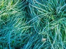 Gras; bevroren gras; Royalty-vrije Stock Afbeelding