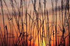Gras bij zonsondergang Royalty-vrije Stock Afbeelding