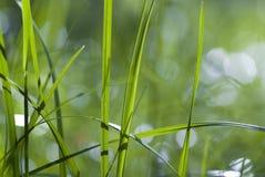 Gras-Blätter Stockbild
