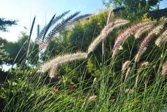 Gras blüht im Sonnenlicht Lizenzfreie Stockfotos