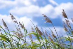 Gras, blauwe hemel, winderig weer royalty-vrije stock afbeeldingen