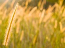 Gras-Blume Lizenzfreie Stockbilder