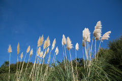 Gras-Blume bei Coromandel Stockfotos