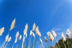 Gras-Blume bei Coromandel Lizenzfreie Stockfotografie