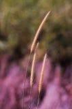 Gras-Blume mit unscharfem Hintergrund Stockbild