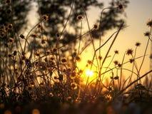 Gras-Blume und Sonnenaufgang Stockfoto