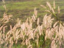 Gras-Blumen-Feld im Paddy Lizenzfreie Stockfotos