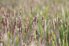 Gras Cattail mit flaumigen Niederlassungen Stockfoto