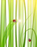 Gras, dalingen en lieveheersbeestjes Royalty-vrije Stock Foto's