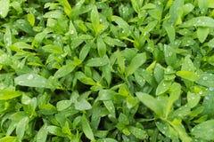 Gras in dalingen van dauw na regen stock afbeelding