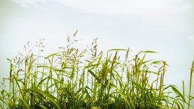 Gras, das in den Wind beeinflußt stock video footage