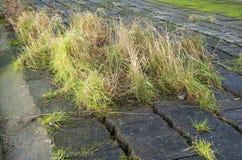 Gras, das durch Sprünge zwischen Beton wild wächst stockfotografie