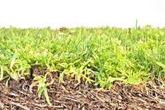 Gras, das im Schmutz wächst Lizenzfreies Stockbild