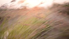 Gras dat in de wind blaast stock footage