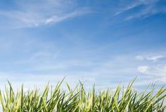 Gras dat met blauwe hemel als achtergrond wordt geïsoleerd royalty-vrije stock foto