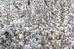Gras dat met sneeuw wordt behandeld Stock Foto's