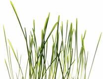 Gras dat op wit wordt geïsoleerd - macro Stock Afbeelding