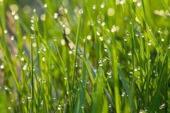 Gras in dauw Stock Afbeelding