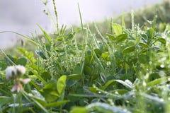 Gras in dauw Stock Foto's