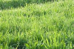 Gras in dauw Stock Fotografie