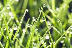 Gras in dauw Royalty-vrije Stock Fotografie
