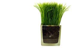 Gras in de glaskruik Stock Afbeelding